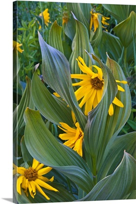Colorado, Crested Butte. Close-up of corn lilies and sunflowers in mountain valley