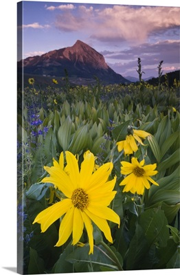 Colorado, Crested Butte. Sunflowers and other wildflowers