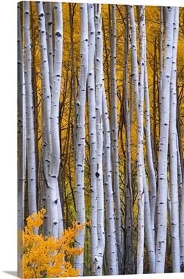 Colorado, Rocky Mountains. Intimate scene of aspen forest in fall