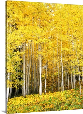 Colorado, Routt National Forest, Aspen Grove