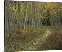 Colorado, San Isabel National Forest, Pathway thru autumn aspen trees