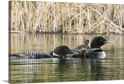 Common Loon family, One adult loon is giving an aquatic insect to its chick