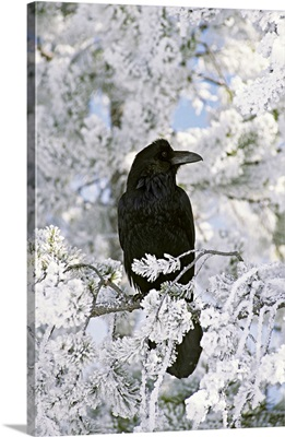 Common raven sitting on frozen branch, Yellowstone National Park, Wyoming