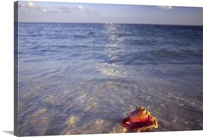Conch Shell on the beach on Grand Bahama Island, Bahamas