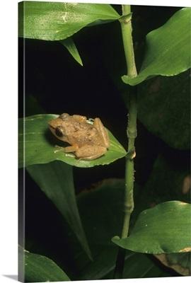 Coqui frog on leaf, El Yunque Forest, Puerto Rico