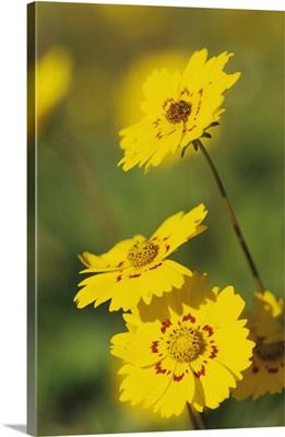 Coreopsis, Coreopsis tinctoria, blooming, Willacy County, Rio Grande Valley, Texas