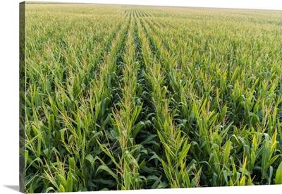 Corn Field, Marion County, Illinois