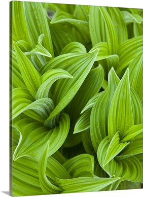 Corn lilly aka False Hellebore in Glacier National Park in Montana