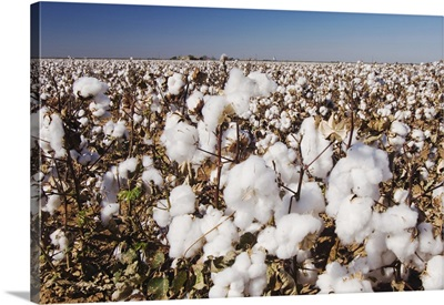 Cotton Plant, Gossypium hirsutum, cotton field, Lubbock, Panhandle, Texas