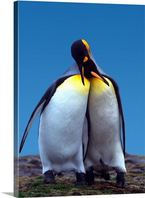 Courtship ritual of a pair of King Penguins