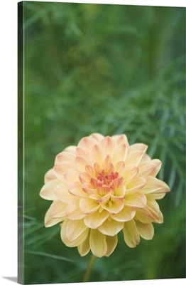 Dahlia, blooming, garden flower, Oberaegeri, Switzerland