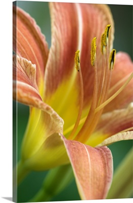 Day Lily, Lily family