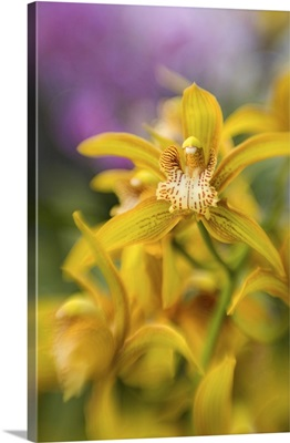 DC, Washington, U.S. Botanic Garden, closeup of yellow orchid
