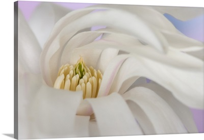 Detail of star magnolia flower