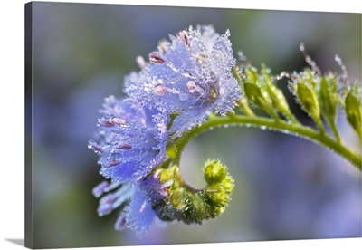 Dew covered Fringed Phacelia flowers, Cades Cove, Tennessee