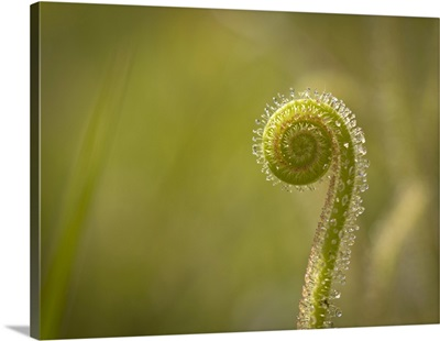 Dew-threads carnivorous plants, Apalachicola National Forest