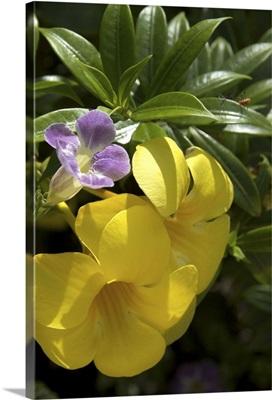 Dominican Republic, La Altagracia, Punta Cana, Bavaro, Allamanda flower