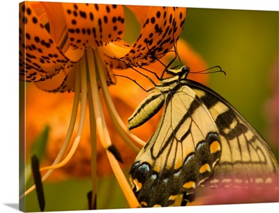 Eastern Tiger Swallowtail Butterfly feeding on orange Tiger Lily