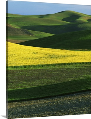 Eastern Washington, Whitman County, Palouse, Canola and Fields