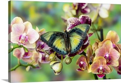 Euphaedra Cyparissa On Orchids
