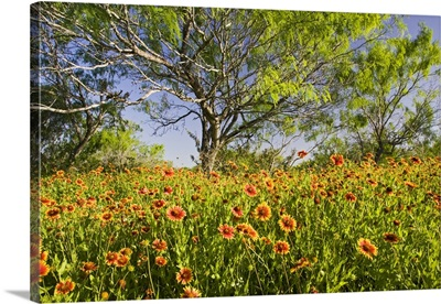 Firewheels wildflowers growing in mesquite trees