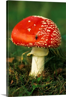 Fly Agaric (Amanita Muscaria) Mushroom With Fly