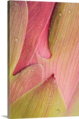 Franklin NC, Perry's Water Garden,  Abstract of lotus flower petals