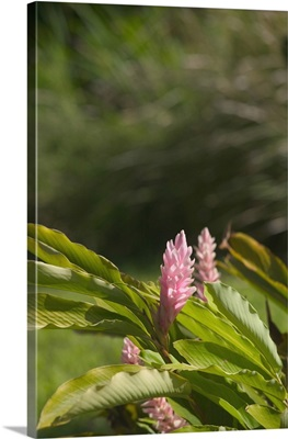 French West Indies, Guadaloupe, Basse Terre, Route de la Traversee, Pink Ginger
