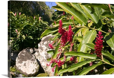 French West Indies, Guadaloupe, Basse Terre, Trois Rivieres, Red Ginger