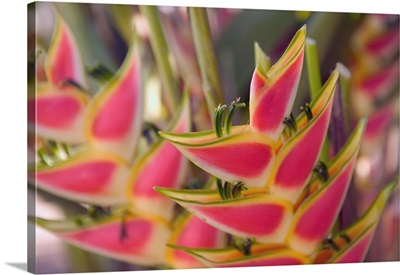 French West Indies, Guadaloupe, Grande Terre, Flower Market, Heliconia