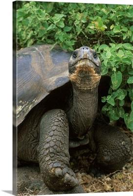 Galapagos Giant Tortoise, endangered, Santa Cruz Island, Galapagos