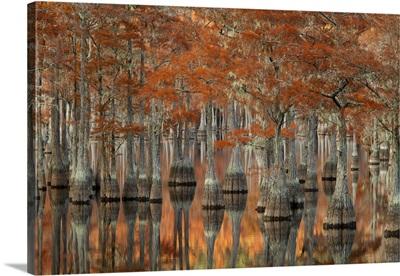 Georgia, Autumn, cypress trees at George Smith State Park