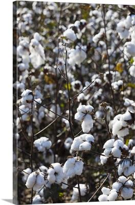 Georgia, Coney, cotton field