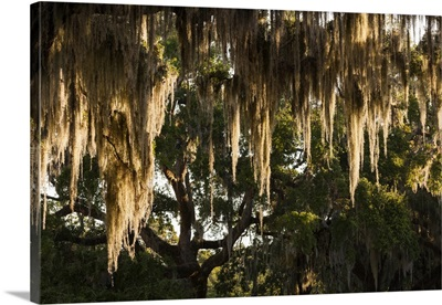 Georgia, Jekyll Island, live oak trees