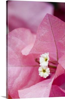Georgia, Pine Mountain. A closeup of a bouganvilla flower