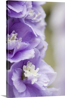 Georgia, Pine Mountain. a closeup of a delphinium blossom