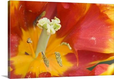 Georgia, Pine Mountain. A closeup of a tulip flower