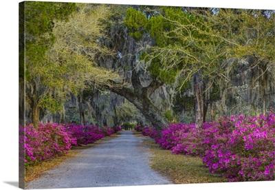 Georgia, Savannah, Azaleas along drive in Historic Bonaventure Cemetery