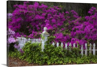 Georgia, Savannah, Azaleas in the spring at Historic Isle of Hope
