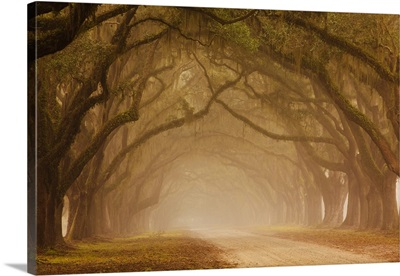 Georgia, Savannah, Fog and Oak trees along drive at Wormsloe Plantation