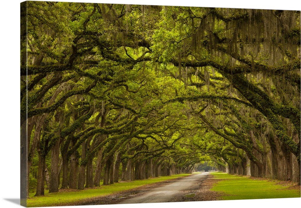 Georgia, Savannah, Mile long oak drive at Historic ...