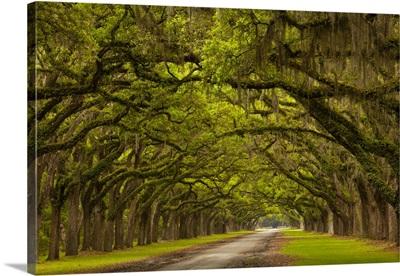 Georgia, Savannah, Mile long oak drive at Historic Wormsloe Plantation