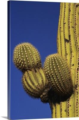 Giant saguaro cactus, Saguaro National Park, Tucson, Arizona
