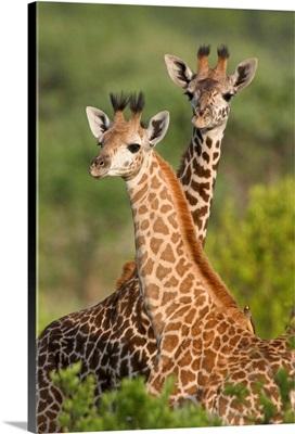 Giraffe Babies,  East Africa, Tanzania, Taranire