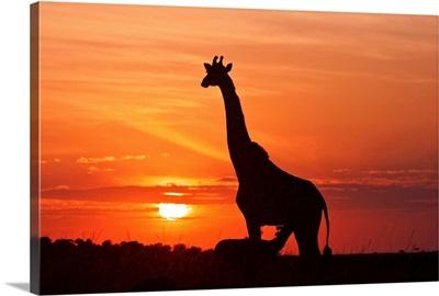 Giraffe Suckling Young One At Sunrise, Maasai Mara Wildlife Reserve, Kenya.