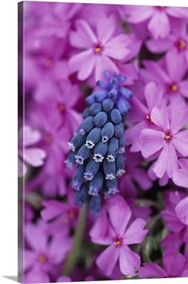 Grape Hyacinth in Phlox in garden