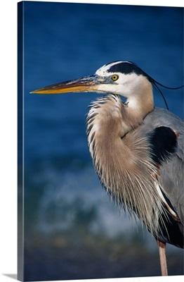 Great Blue Heron in breeding plumage, Florida, Sanibel Island