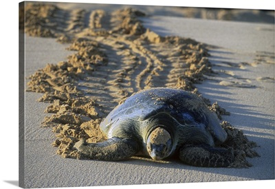 Green Sea Turtle returning to sea after nesting, Ascension Island, Atlantic Ocean