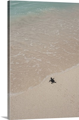 Green Turtle Hatchling Release Project, Quintana Roo, Yucatan Peninsula, Mexico