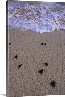 Green Turtle, hatchlings head to sea, Ascension Island, South Atlantic Ocean